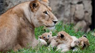A lioness sat with her cubs.