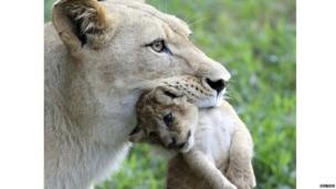 A lioness carries a cub.