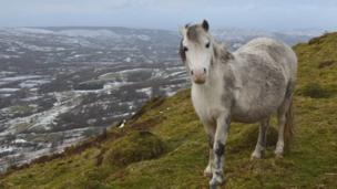 An inquisitive wild pony on the mountain above Troed-y-Rhiw looking towards Merthyr Tydfil in the background. Sent in by Andrew Williams.