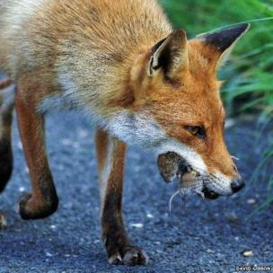 Fox with lunch