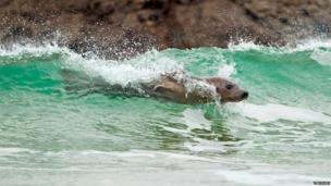 Surfing seal