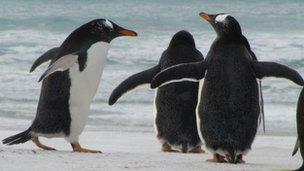 Falklnds penguins
