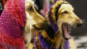 Afghan Hounds wear hoods during the first day of the Crufts Dog Show in Birmingham, central England March 7, 2013.