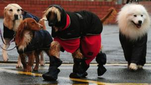 Dogs arrive for Crufts 2013 at the NEC, Birmingham.
