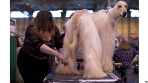An Afghan Hound is groomed during the first day of the Crufts dog show in Birmingham, in central England on March 7, 2013.