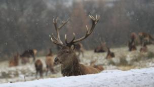 A deer with antlers is sitting down in snow. The snow is falling around it and there are other deer in the background.