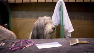 A bearded collie keeps a watchful eye in between pampering sessions at Crufts.