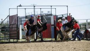 Ostriches racing