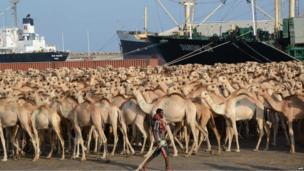Hundreds of camels wait on Friday at the port in Somalia's capital, Mogadishu, to be shipped to Saudi Arabia on 8 March 2013