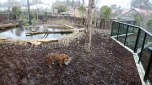 New tiger enclosure at London Zoo