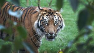 Sumatran tiger Melati looks on in her enclosure during the opening of London Zoo's new Tiger Territory