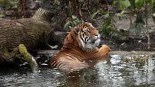 Jae Jae looks at his new home as the opening of the new Tiger enclosure at London Zoo