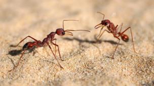 Bulldog ants communicating