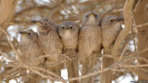 Arabian babbler group
