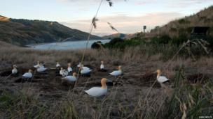 Decoy Northern gannets in New Zealand
