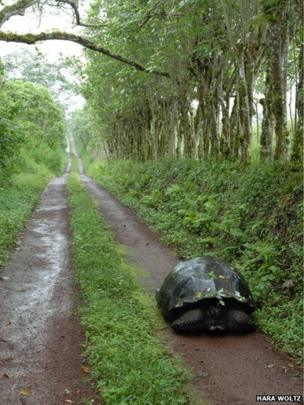 Galapagos tortoise using human road
