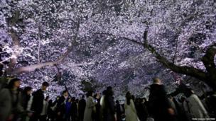 Visitors walk under illuminated cherry blossoms in full bloom along the Chidorigafuchi moats in Tokyo