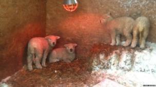 Dartmoor lambs huddle under a heat lamp. Photo: Lynne Jackson