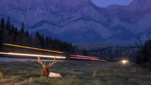 Red deer stag beside a highway through Jasper National Park, Canada