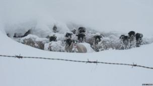 Sheep in snow on the Isle of Man