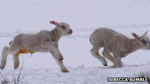 Lambs in Dumfries and Galloway