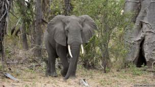 Elephant in the Niassa Game Reserve, Mozambique