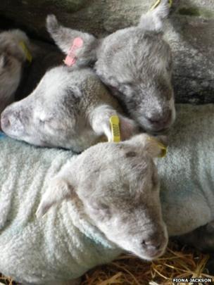 Lambs huddled together keeping warm. Photo: Fiona Jackson