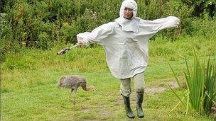 Crane chick and person dressed as a crane mother