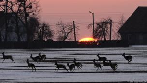 A herd of deer run through a snowy field