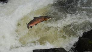 Salmo Salar: Atlantic salmon migrating up the river Lledr in North Wales.