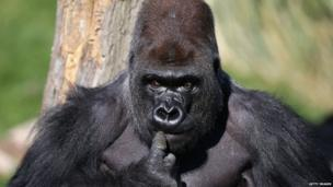 Kumbuka, a 15-year-old western lowland gorilla, explores his new enclosure in ZSL London Zoo on 2 May 2013