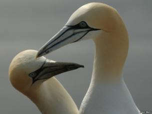 Pair of northern gannets