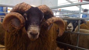 Curly-horned ram