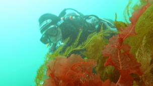 Diver looking at seaweed