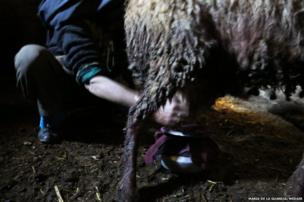 Milking sheep
