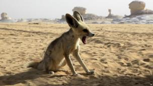 A Fennec fox in the Sahara desrt in Egypt (18 May 2013)