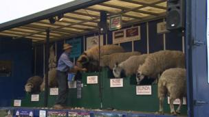 Sheep at the 2013 Suffolk Show
