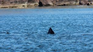 Basking shark fin