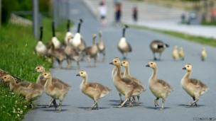 Wild geese chicks cross a cycle track