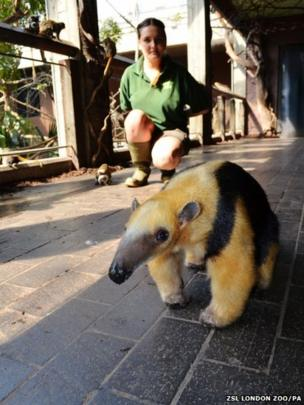 Tammy the anteater