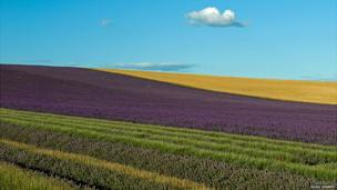 Golden Evening at Hitchin Lavender, Hertfordshire by Rosie Herbert