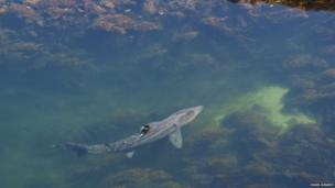 Shark photographed in Loch Ob