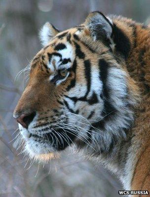 Amur tiger (Image: WCS Russia)