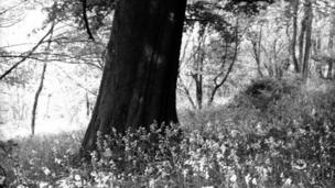 Bluebells under a beech tree, Coed y Bwdrwm, Caerphilly, May 1936. Photograph by HA Hyde