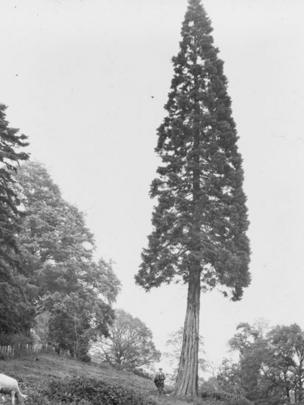 A giant sequoia tree in Monmouthshire