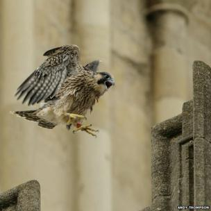 Norwich Cathedral peregrine falcons