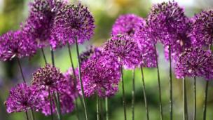 Alliums in the Double Walled Garden