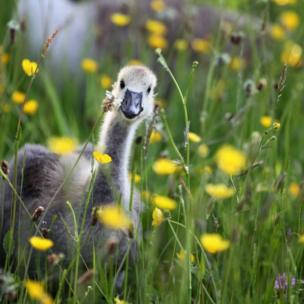 Goose peeping through the buttercups