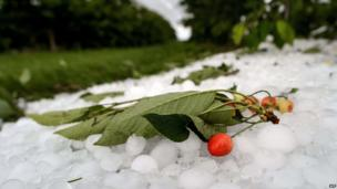 A cherry twig lies on top of hailstones after a storm in Duillier, western Switzerland (20 June 2013)