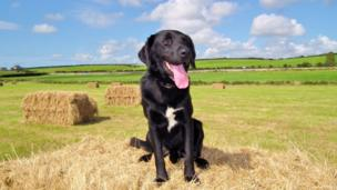 Cymro a cross Sheepdog/Labrador who loves helping out with the silage making on 'Y Fach' farm near the village of Bryngwran, Anglesey. Photo sent in by Wynne Evans.